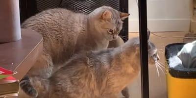 Dwa koty.