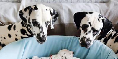papà e mamma dalmata guardano i loro cuccioli