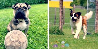 bulldog francese con pallone e san bernardo che corre in un parco