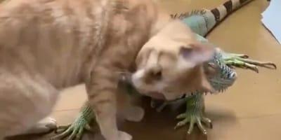 gato abrazando iguana