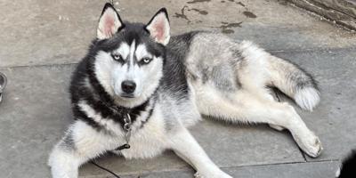 siberian-husky-laying-on-concrete-floor