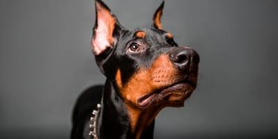 Las razas de perros guardianes más populares