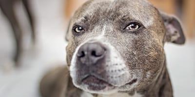 La lista de razas de perros potencialmente peligrosos podría desaparecer en España