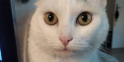 gatta bianca olivia in primo piano