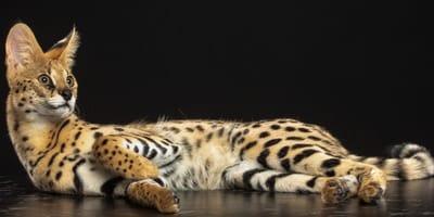 Gatti pregiati: le 10 razze feline più costose al mondo (Foto)