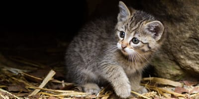 Europäische Wildkatze Kitten