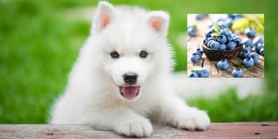 Si possono dare i mirtilli ai cani?