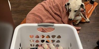 Dalmatier ligt bij nest puppies