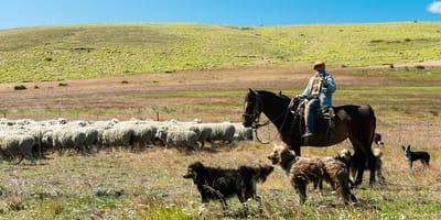 Origen y características del perro ovejero magallánico chileno