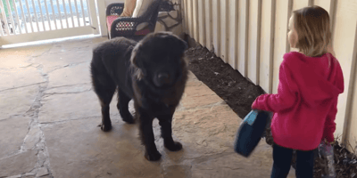 black newfoundland standing in front of young girl