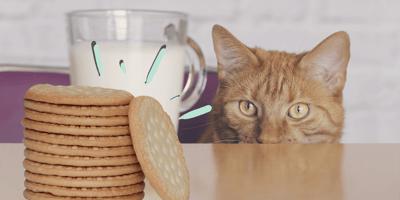 ¿Los gatos pueden comer galletas Marías o es riesgoso?