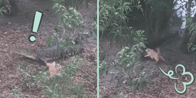 Cancún: Perrito chihuahua le pega un buen susto a un cocodrilo (Video)