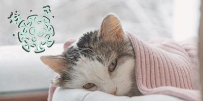 ¿Qué es el parvovirus en los gatos? Cómo se contagia, síntomas y tratamientos