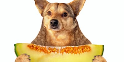 ¿Mi perro puede comer melón?