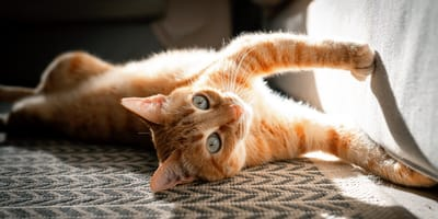 Mijn kat krabt aan de bank: waarom en wat te doen?