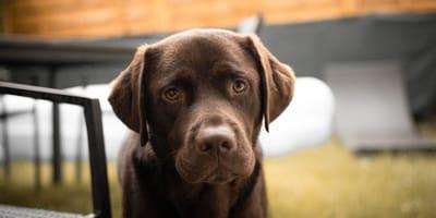 Seltsam: Fellfarbe vom Labrador hat Folgen für seine Lebenserwartung