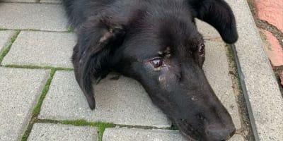 Pies postrzelony 50 razy z wiatrówki brutalnie porzucony przy drodze w Czarnkowie