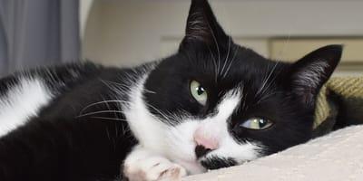 Anemia u kota: objawy, leczenie i dieta