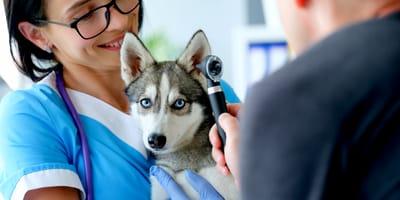 Come riconoscere l'otite del cane e curarla?