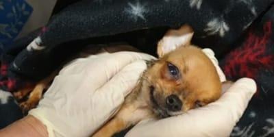 Nach Chihuahua-Katastrophe: Hilfeschrei von sächsischem Tierheim geht viral