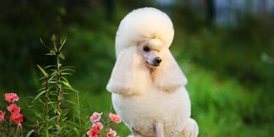 Estas son las 6 razas de perros más robadas en Chile