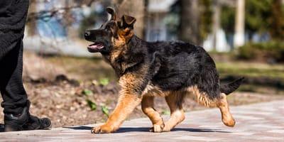 Puppy training: de basisschool voor honden