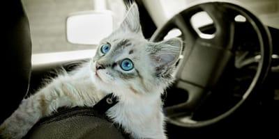 Come trasportare un gatto in auto in tutta sicurezza?