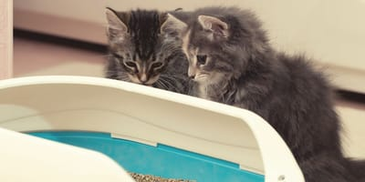 Kittens zindelijk maken: zo doe je dat!
