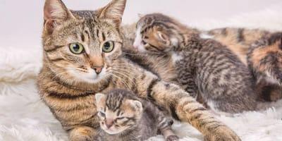¿Cómo es el comportamiento de la gata después del parto?
