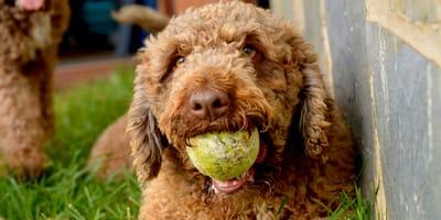 Il cane d'acqua spagnolo descritto attraverso 10 foto