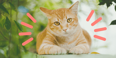 gato naranja tabby rojo