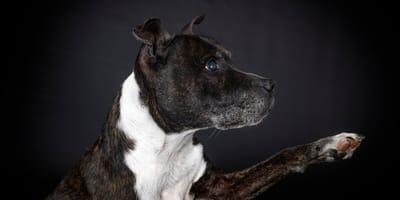 Jak rozpoznać początki zaćmy u psa i jakie leczenie podjąć?