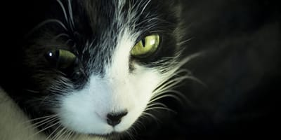 ¿Qué es el virus de la leucemia felina?