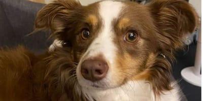 Perde il suo Pastore Australiano: vede il filmato del cane e corre via
