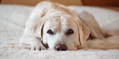Il cane dimentica il suo padrone? Quanto tempo impiega?