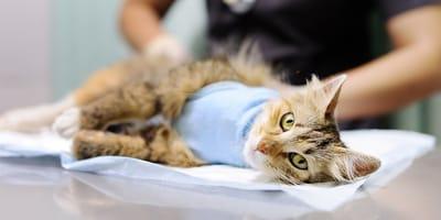 ¿Cuánto cuesta castrar a un gato en Chile?
