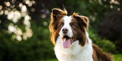 Najmądrzejszy pies na świecie: poznajcie czworonożnego Einsteina