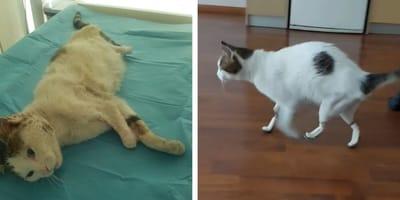 Ontmoet Perseus, de bionische kat!