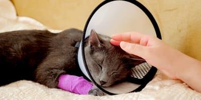 Come disinfettare una ferita al gatto?