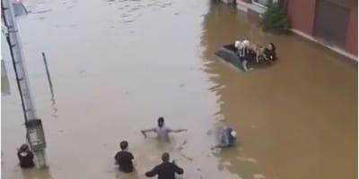 Belgio: due cani salvati dalle acque sul tettino di un'auto (Video)