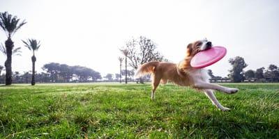 """""""Ja też chcę takiego psa"""": to, co robi ten psiak po zakończonej zabawie z frisbee zachwyciło 2,4 mln osób!"""