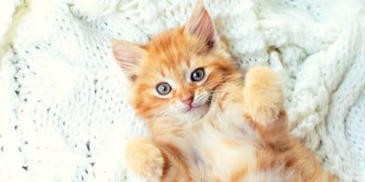 10 datos fascinantes sobre los gatos amarillos (Fotos)