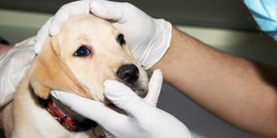 Moquillo en perros: síntomas, tratamiento, contagio y remedios caseros