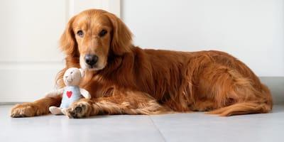 Is mijn hond schijnzwanger? Alles wat je wilt weten over schijndracht