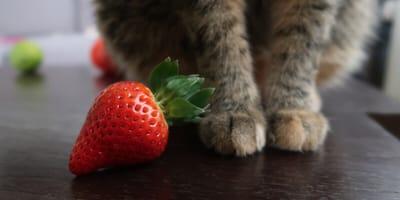 Katze frisst Erdbeere