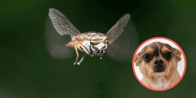 De 'vliegende teek': hertenluisvlieg ook gevaarlijk voor honden