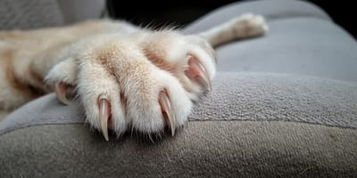 Enfermedad por arañazo de gato: qué es,  diagnóstico y tratamiento
