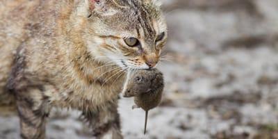 ¿Por qué los gatos traen animales muertos a tu casa?