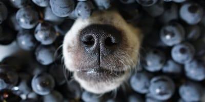 Hund frisst Heidelbeeren