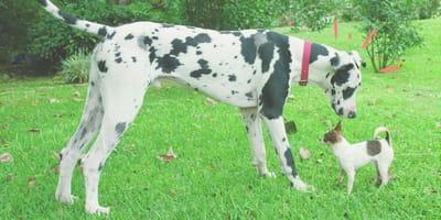 Perro chihuahua se enfrenta a un gran danés sin darse cuenta de su propio tamaño